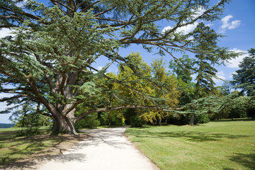 Centenary cedar in Chenonceau Chateau park. France