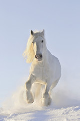 white horse run in winter