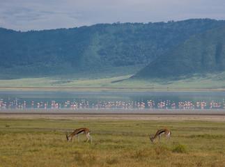 Ngorongoro gazzelle
