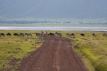 Grande migrazione gnu e zebre