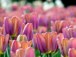Papiers peints Rose banbon tulipe