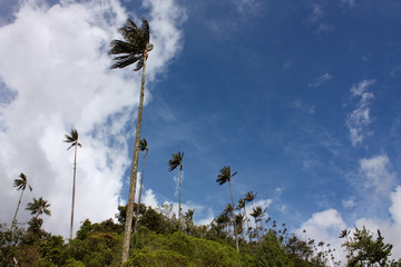 Cocora valley and wax palm