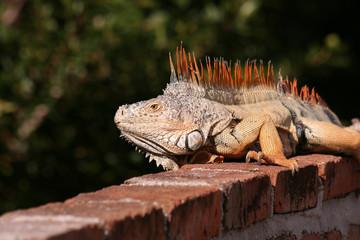 Iguana sobre una barda