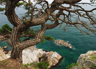 Pine tree near sea, Far Eastern Maritime preserve, Russia
