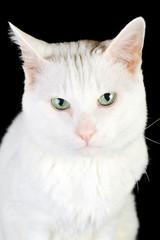 white domestic cat