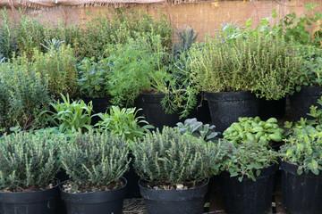 mercato rionale - erbe aromatiche in vaso