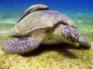 Tortue - Mer Rouge