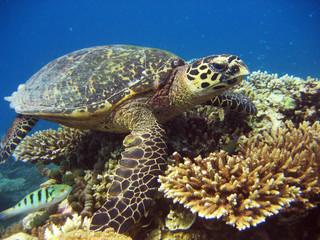Tortue - Maldives