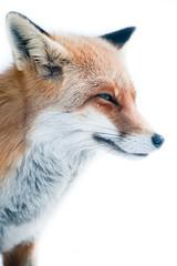 red fox (lat. vulpes vulpes)