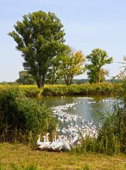 Gooses near lake