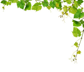 Fototapeta Fresh grapevine border, isolated