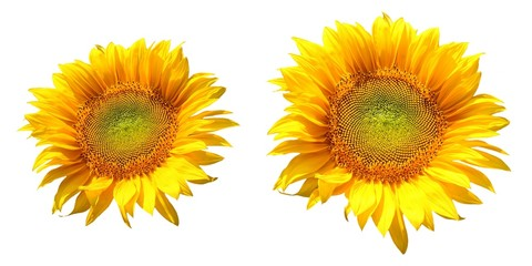 two sunflower isolated on white