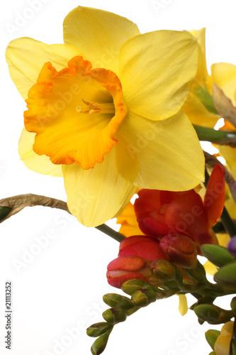Narciso giallo su fondo bianco immagini e fotografie for Narciso giallo