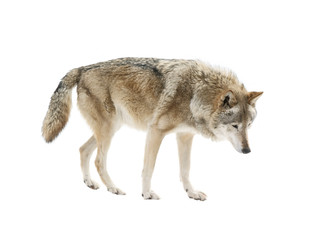 Deurstickers Wolf Big wolf isolated on white background