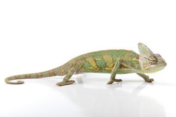 Beautiful big chameleon on white background