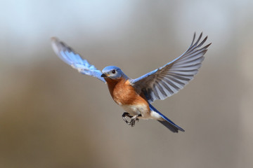 Fotoväggar - Bluebird In Flight