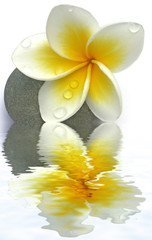 fleurs de frangipanier sur galet, fond blanc
