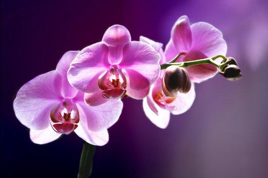 Fioletowy storczyk tło romans