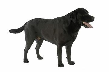 puissant labrador adulte noir de trois quart immobile
