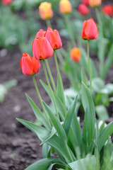 red tulips.Flowers on a lawn