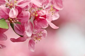 Kirschblüten_5