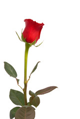 Red rose on a studio white background.
