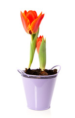 Orange tulips in a purple pot isolated over white