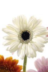 White sunflower close up