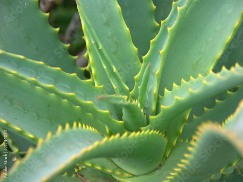 aloe vera plante m dicinale photo libre de droits sur. Black Bedroom Furniture Sets. Home Design Ideas