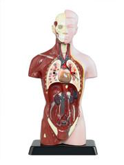 Der menschliche Körper 3