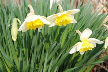 Cerca immagini narcisi for Narciso giallo