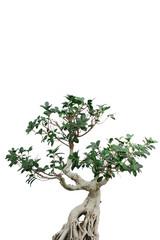 "Bonsai ""ficus microcarpa"" hochgestellt"