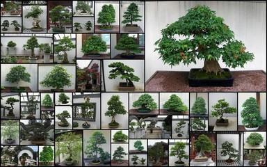 Trombinoscope bonsaï