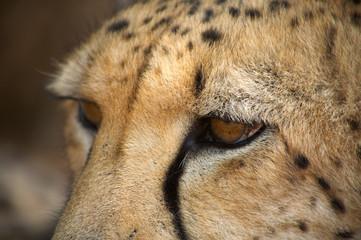 cheetah in Harnas Foundation  Namibia