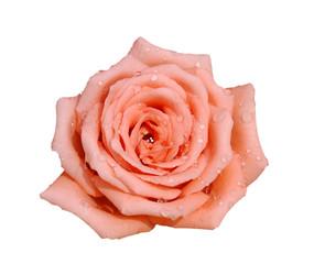 開花 ,玫瑰,植物,