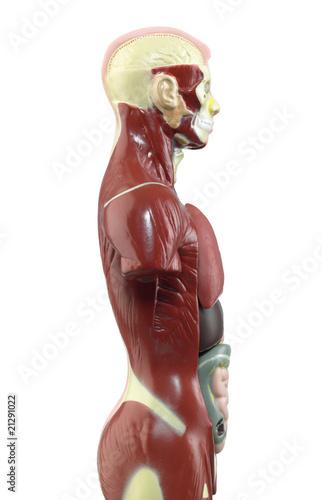 Der menschliche Körper ORGANE Seite\