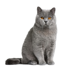 Wall Mural - Front view of British shorthair cat, sitting