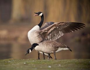 oie bernache oiseau aile plume lac étang eau battement