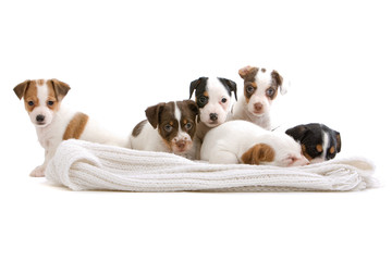 group of six  jack russel terrier on a white blanket