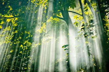 Obraz sunlight in fairy  forest - fototapety do salonu