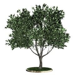 Baum - Olive