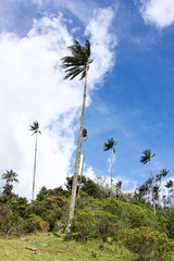 Cocora walley and wax palm. Colombian Andes