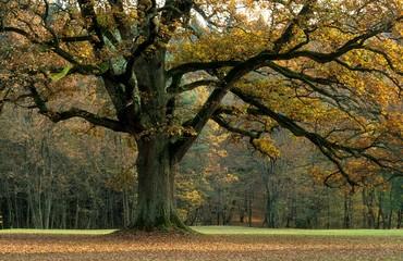 Große Eiche im Herbst