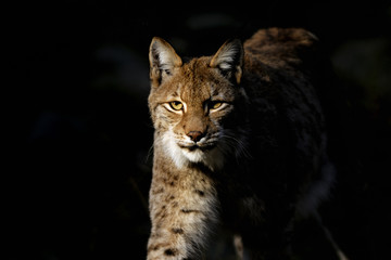 Printed roller blinds Lynx lynx lynx