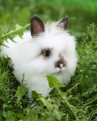 White rabbit on walk