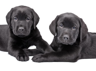 two  black labrador puppies, two  months old.