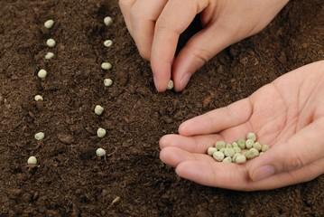 sowing peas