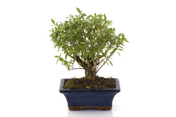 Bonsai tree isolated in white background