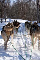 huskies au galop