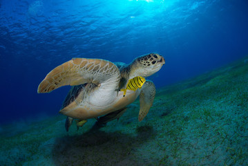 Tartaruga  verde con pesce pilota